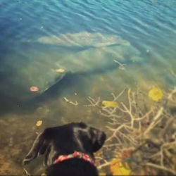 A picture of a Black Lab staring at a mother manatee in Fort Myers Beach