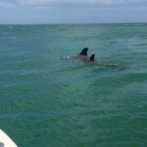 A picture of Bottlenose Dolphins off of the coast of Captiva Island