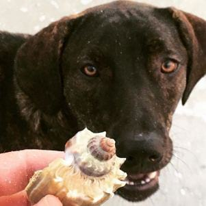 A picture of a dog looking at a seashell on Fort Myers Beach