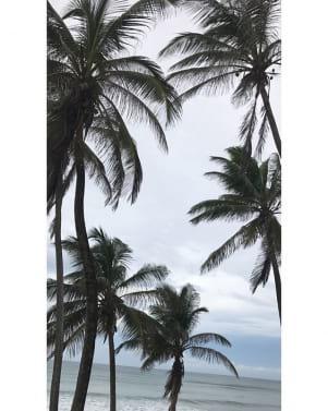 Amazing photo of the palm trees in Bathsheba