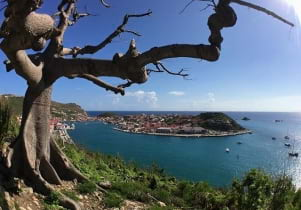 The old tree guarding Gustavia Harbor in St. Barths withstood 260 mph winds,