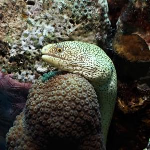 An extreme closeup shot of a Moray in Bonaire.