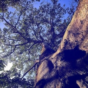 An incredible image of a tree in Guyane