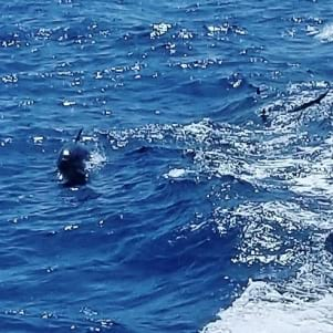 Dolphins in the boat wake off of the big island Hawaii