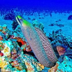 A picture of A colorful eel offshore in Maul Hawaii