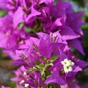 Beautiful purple flowers in Tobago